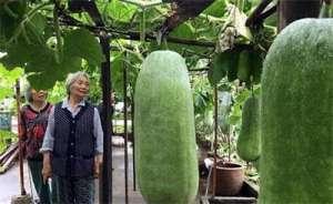 八旬老汉楼顶种出140多个大冬瓜  卖得8000多元
