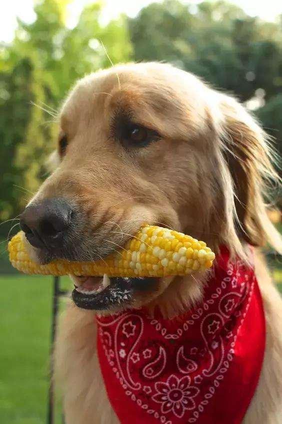 狗狗有不能吃的食物吗?哪些食物狗狗不能吃