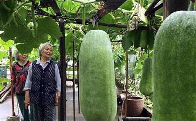 八旬老汉楼顶种出140多个大冬瓜